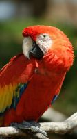 Scarlet Macaw Portrait by Bellayona