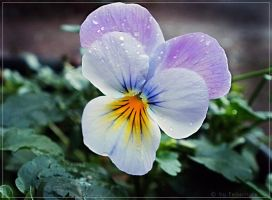 little shiny pansy... by FeliFee