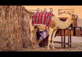 Camel Shepherd by MARX77