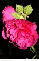 Wet Hollyhock by In-the-picture