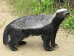 Honeybadger 08 by animalphotos