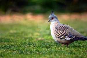 Crested Pigeon by AWakeAndShake
