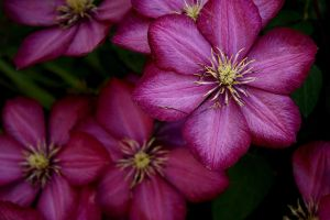 Pretty Clematis by designerfied