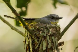 Eastern Yellow Robin on nest by strictfunctor