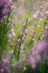 August Heather by Justine1985