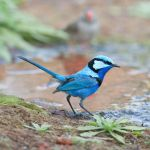 Splendid Fairywren by 88-Lawstock