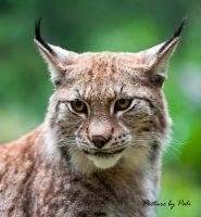 Lynx13 by PictureByPali