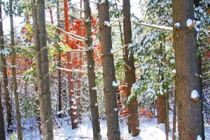 Snowy Woods 14 by Adeimantus