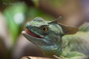 Curious lizard in detail... by JoergJohannMueller