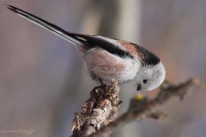 Long-tailed Tit I by HoremWeb