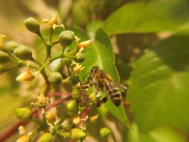 Honey Bee a Macro with GoPro (2) by SylkunGraphX