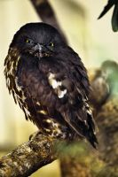 Black Owl, Ueno Zoo by nostro-fr