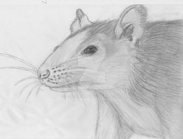 a rats head by Alaina19