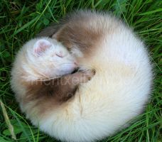 My ferret III by meritxell-photo