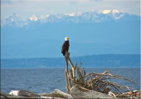 Bald Eagle by ShannonCPhotography