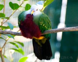 Magnificent Fruit Dove by Macropus-Rufus