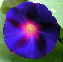 Purple Morning Glory by SolStock