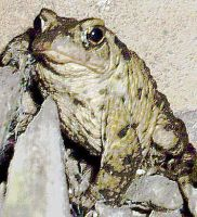 Denton The Toad Painting effect by Pho-TasticMathew