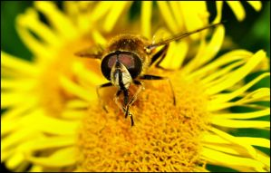 Hoverfly dance by Somebody-Somewhere