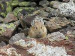 A Pika in all its Adorableness by MarbleTilly