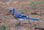 Blue Jay 5-16-12 by Tailgun2009