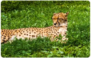 Dreaming Cheetah by OrangeRoom