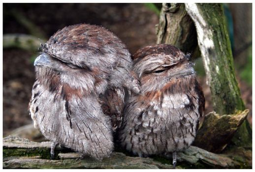 Tawny Frog Mouths by JodyS