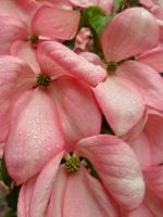 Pink Dogwood by Thundercatt99
