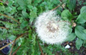 make a wish - from a weed by queenofcatz