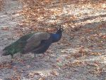 A Peafowl in the Autumn? by Haxorus54