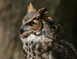 Great Horned Owl 20D0034784 by Cristian-M