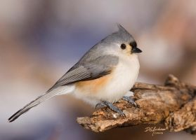 A tufted Tit-mouse on perch by DGAnder