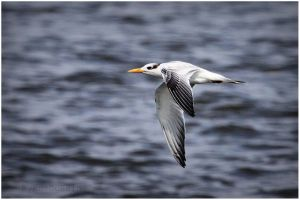 Royal Tern by Ryser915