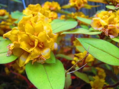 Yellow Flower Clusters by Sing-Down-The-Moon