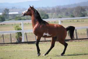 Pinto Arabian Stallion/On lead/Mini rear by xxMysteryStockxx