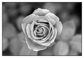 1st Rose.img455, with story by harrietsfriend