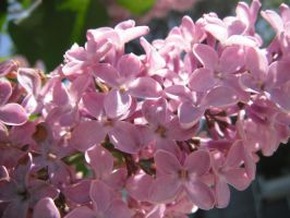 lilacs in the sunlight by mysteriousfantasy