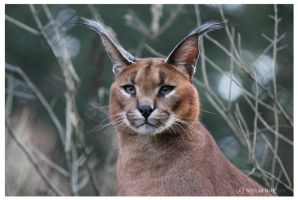 Caracal by xSilverwingx