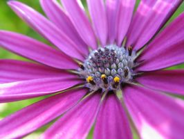 Osteospermum - Closeup by Pimpernel