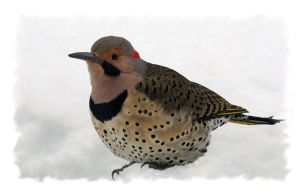 Northern Flicker by barcon53