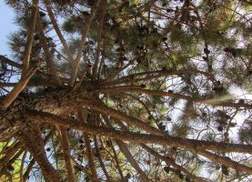 pinus pinea by MadameMimii