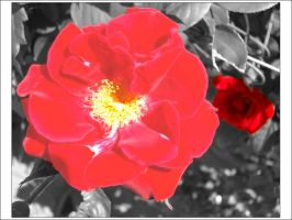 Rose from Dubrava by comino69