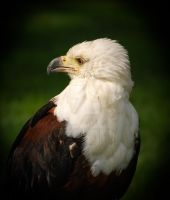 Eagle 2 by twilliamsphotography