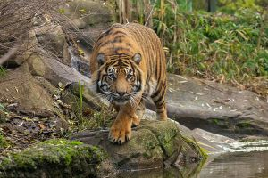 Prowling tiger by Tygrik