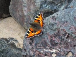 small tortoiseshell by Panthera1985