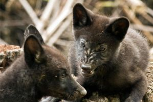 Angry timberwolf cub by deadwolf140407