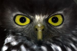 Barking Owl by scoot75