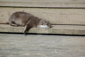 Lazy Otter by ELomas