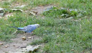 Parakeet In the Park 4 by Miss-Tbones