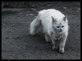 Almost white cat by katerina-m